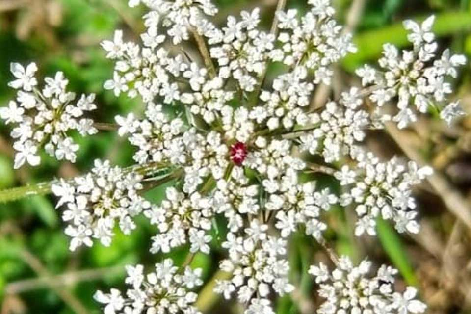 Queen Anne's Lace and the Beautiful Dordogne